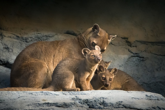 Fossa Mom and Cubs