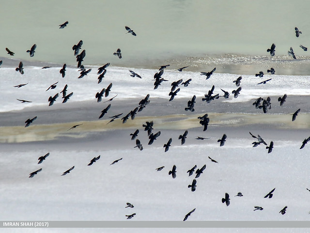 Red-billed Chough (Pyrrhocorax pyrrhocorax) & Yellow-billed Chough (Pyrrhocorax graculus)