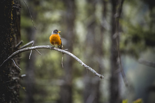 American Robin at Goat Lick | by GlacierNPS