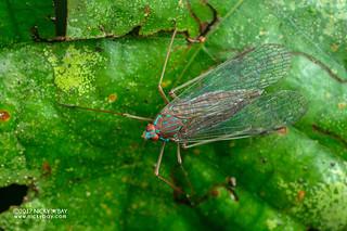 False lanternfly (Centromeria sp.) - ESC_0059