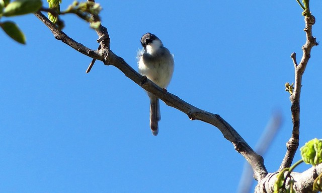Grey-breasted Prinia - in breeding plumage