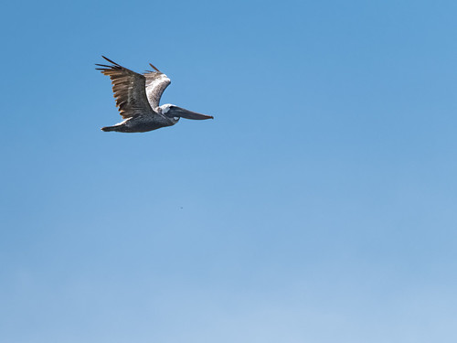 One Pelican | by Ed Rosack