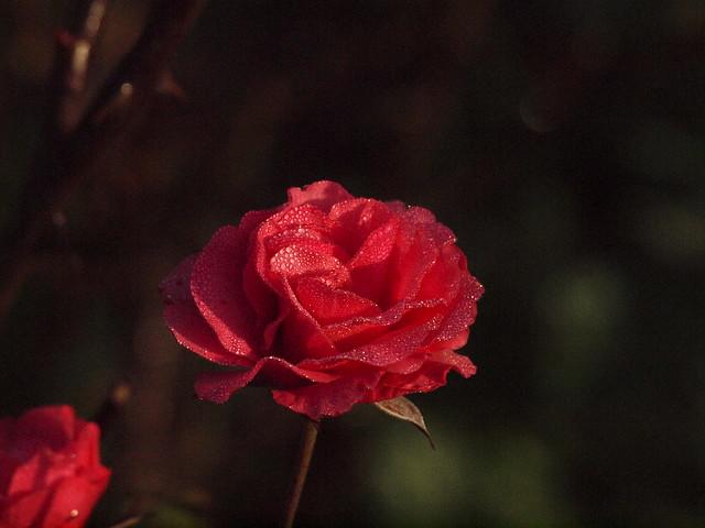 rosiger Morgen 002
