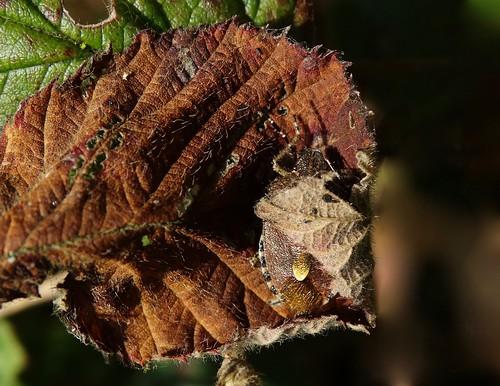 dolycorisbaccarum hairyshieldbug pentatomidae punaise hemiptera heteroptera insect snug snugasabug lythhill shropshire rockwolf