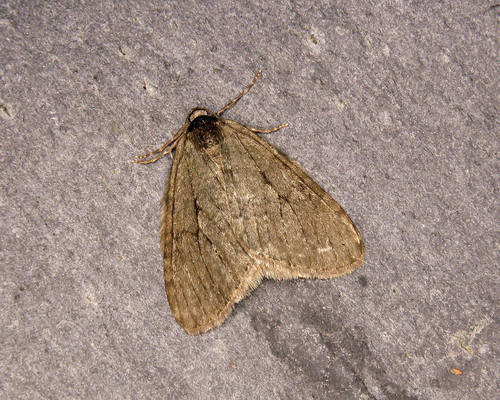 70.107 November Moth - Epirrita dilutata
