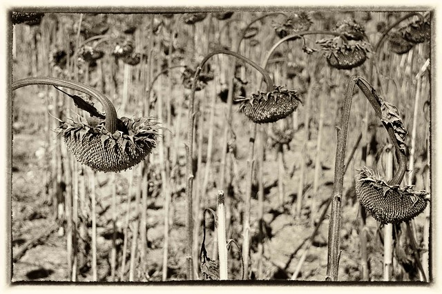 Sunflower field, Michigan