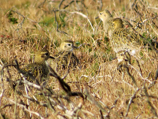 Pluvialis apricaria Golden Plover | by david cawthraw