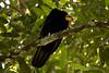 Cathartes melambrotus by ramosblancor