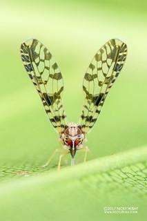 Planthopper (Derbidae) - DSC_0893