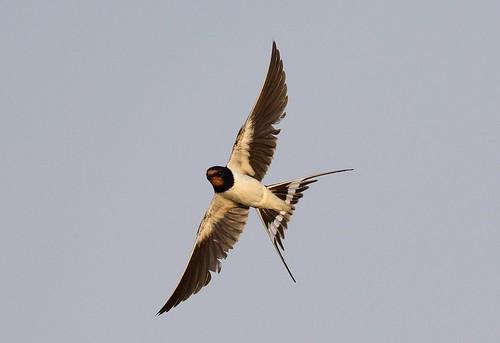 barnswallow hirundorustica gaborone botswana