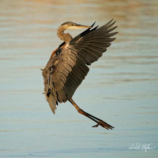Great Blue Heron In Final Landing Stall