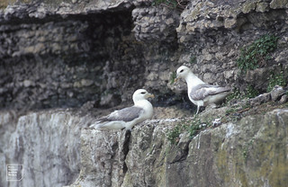 Fulmars. Puffin Island. Anglesey 22.5.1970