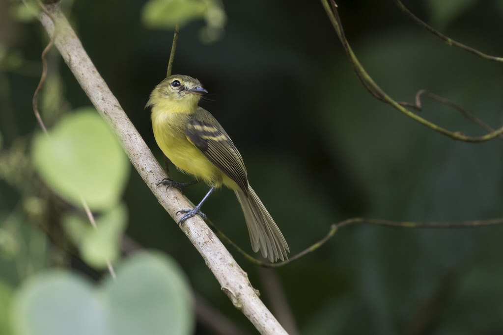 Capsiempis flaveola / Yellow Tyrannulet