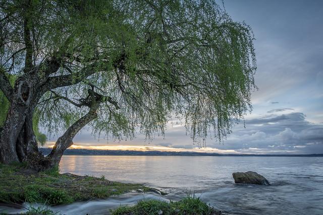 El árbol junto al lago