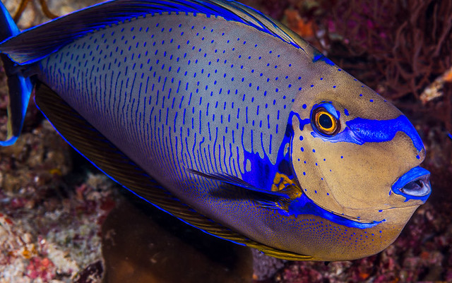 Bignose Unicornfish with vivid colors - Naso vlamingii