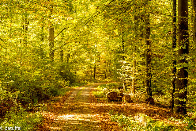 Path into the forest during the golden autumn period