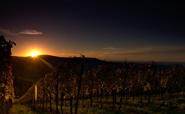 Vineyards in the evening