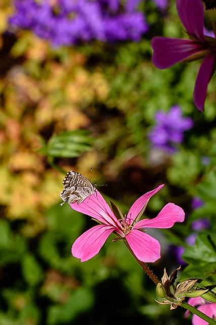 Brun du pélargonium. [Cacyreus marshalli] - proxy