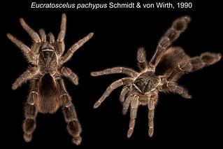 Eucratoscelus pachypus | by oldworldtarantulas