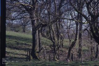 Oaks. Northern margin of Coed y Bedw by mine. April 1995