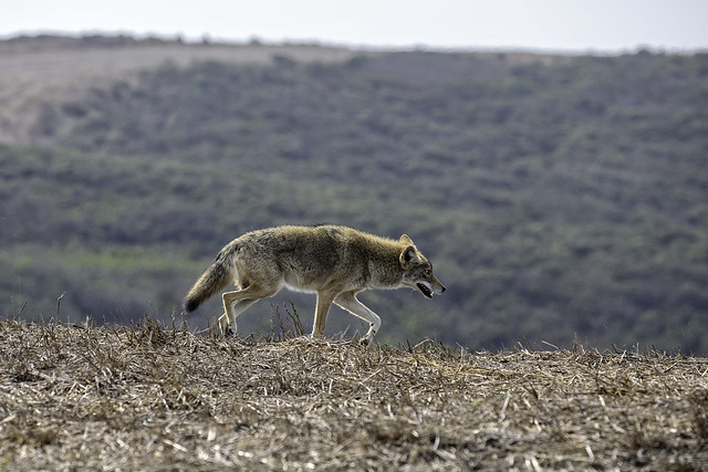 Coyote on the Hill