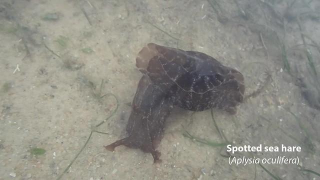 Spotted sea hare (Aplysia oculifera)