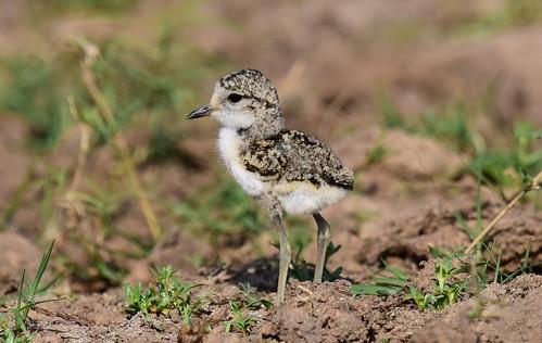 kittlitzsplover charadriuspecuarius thagaledam botswana chick