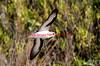Black-Winged Petrel-Pterodroma Nigripennis by tonydawe1
