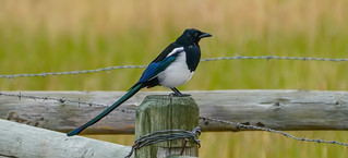 First and only Black Billed Magpie | by MedicineMan4040