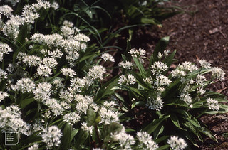 Ramsons by Taf. Forest Farm. 30 April 1990