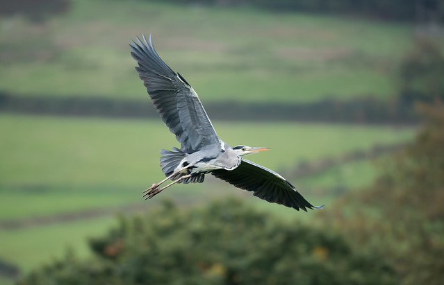 Grey Heron 'Ardea cinerea' in Flight