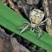 Hyptiotes paradoxus - Photo (c) Philippe  Garcelon, algunos derechos reservados (CC BY-NC-SA)