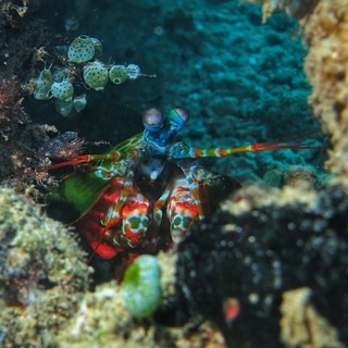 Peacock Mantis Shrimp | by Noodlefish