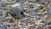 Bar-backed Partridge_15-02-04_Arborophila brunneopectus by Langham Birder