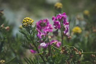Wild Flowers - Day 185/365 | by MikeBrowne