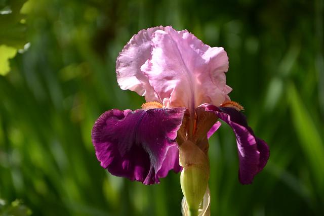 Floraisons 2016 de nos grands iris barbus et Bilan - Page 2 32447997951_2a48252a60_z