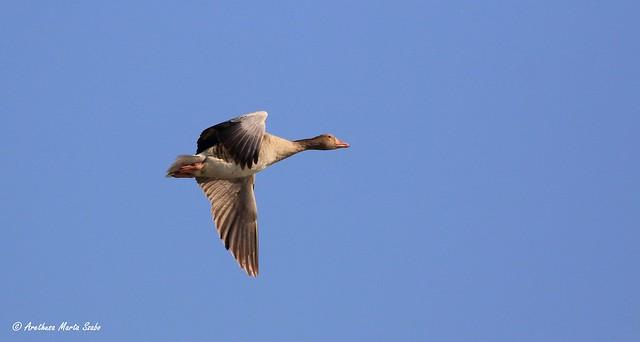 The flight of  greylag goose (Anser anser)
