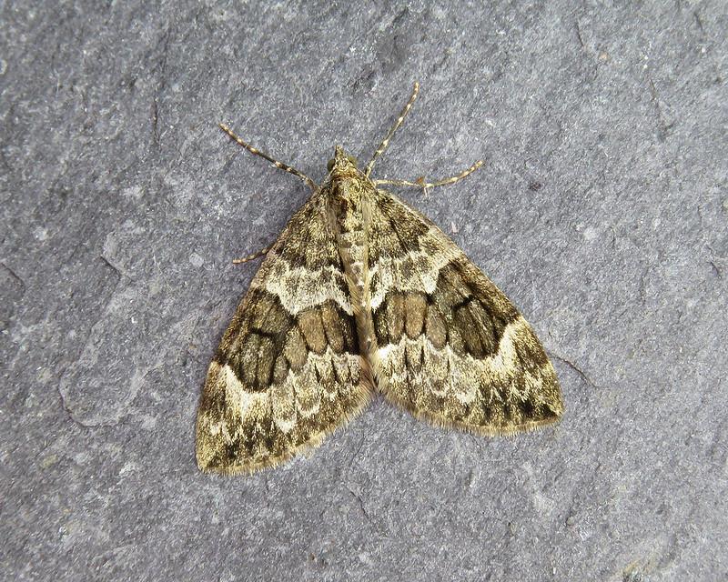 70.079 Spruce Carpet - Thera britannica