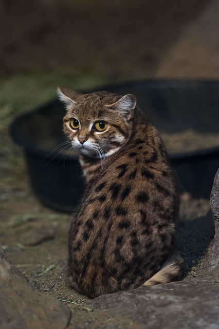 Yuna the Black Footed Cat.