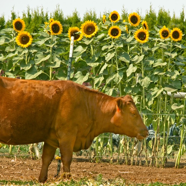 Cow and Sunflowers 236 A