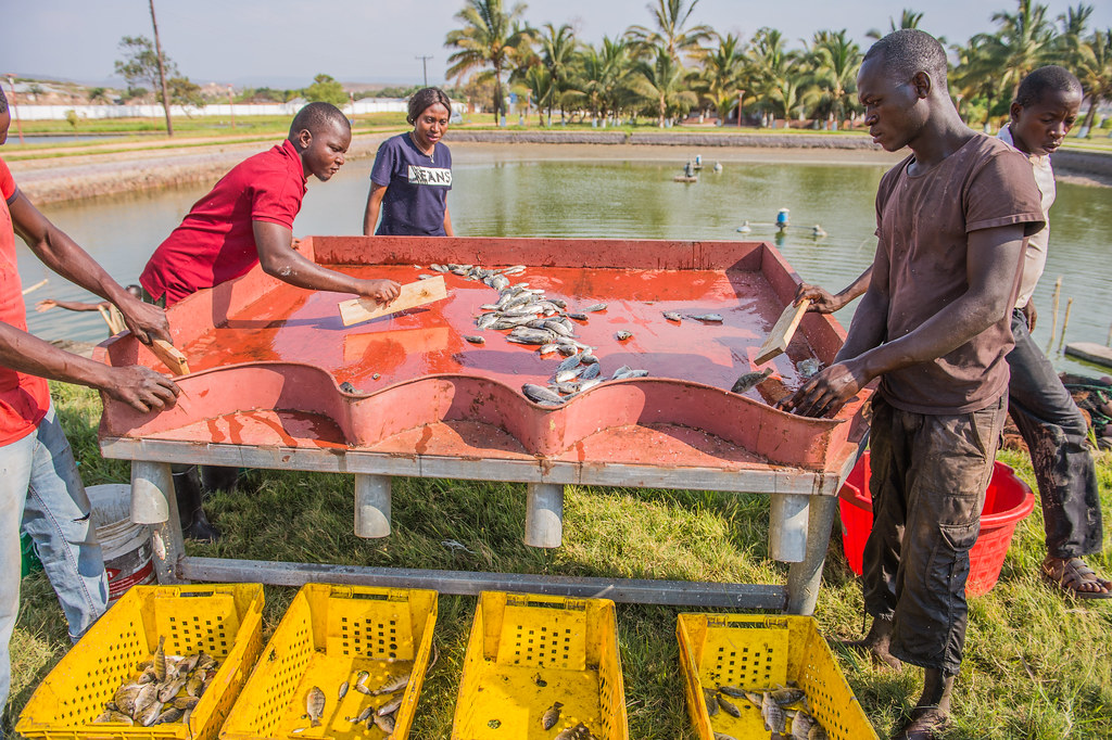 Employment opportunities for youth is available across the fish value chain. Photo by Chosa Mweemba.