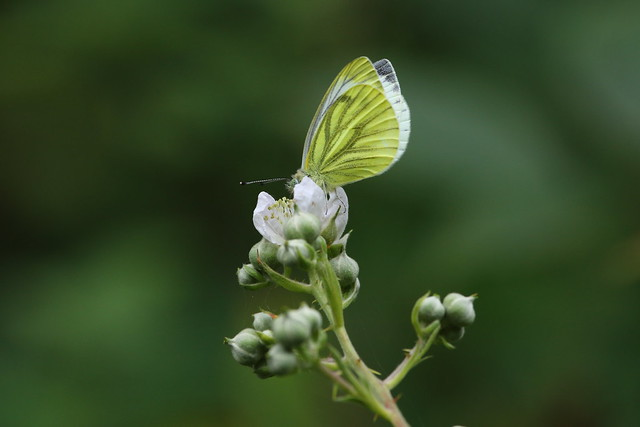 Green Veined White butterfly on Bramble flower at Blashford Lakes Nature Reserve, Hampshire, UK
