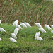 Flickr photo 'Cattle Egrets (Bubulcus ibis)' by: Mary Keim.