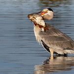 Grey Heron-2709