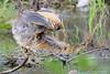 Botaurus lentiginosus by josealama