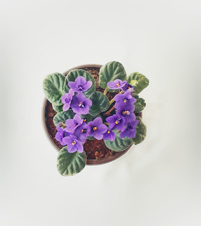 Violet indoor plant - all year bloom