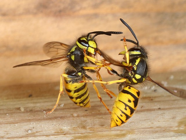 Rolf Nagel-Fl-7959-Vespula germanica