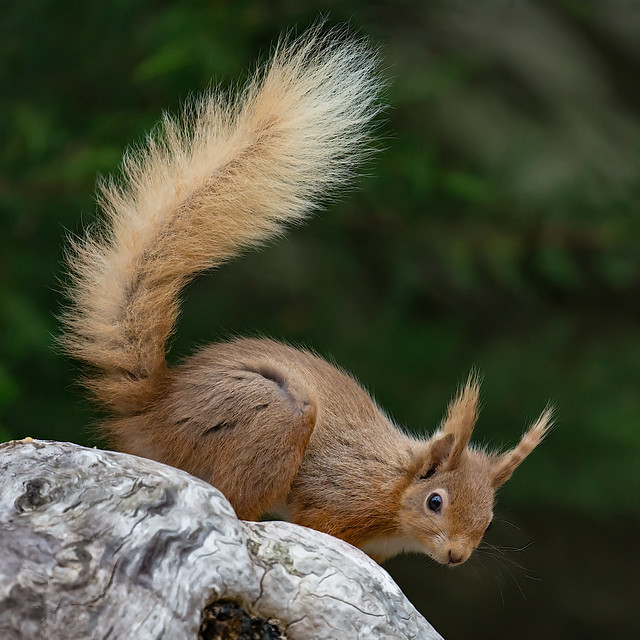 Red Squirrel - Brownsea Island