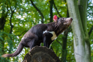 Tasmanian Devil | by Mathias Appel
