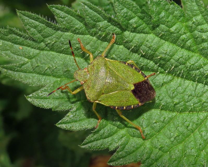Common Green Shieldbug - Palomena prasina